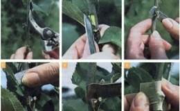 Как проводить черенкование груши летом: пошаговая инструкция и полезные советы