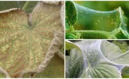 Почему появляется паутинный клещ на огурцах: что делать, чтобы одолеть вредителя и спасти урожай