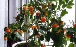 Лучшие подкормки для мандаринового дерева в домашних условиях