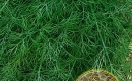 Как быстро прорастить семена укропа и чем их обработать, чтобы ускорить всхожесть зелени