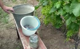 Необходимая подкормка винограда летом и правила её внесения