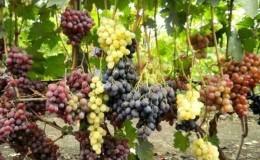 Рекомендации от опытных виноградарей: можно ли сажать разные сорта винограда рядом и какая от этого польза и вред