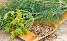 Лечебные свойства семян укропа: народные рецепты и противопоказания