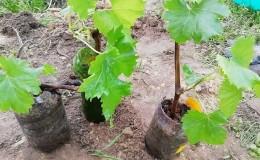 Как правильно производить посадку винограда весной в открытый грунт
