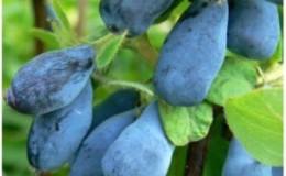 Морозостойкий кисло-сладкий сорт жимолости Синеглазка