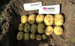 Вкусный раннеспелый картофель «Коломба» (Коломбо) от голландских селекционеров