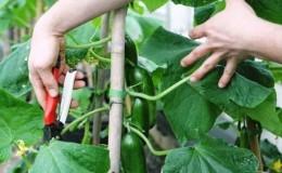 Как правильно обрезать листья у огурцов в теплице и нужно ли это делать?