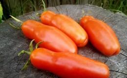 Сорт томата «Аурия» от новосибирских селекционеров, прославившийся высокой урожайностью и великолепным вкусом плодов