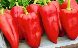 Чем хорош перец «Винни Пух»: знакомимся с сортом и учимся правильно его выращивать