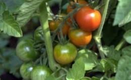 Секреты грамотного ухода за томатами: как подкормить помидоры дрожжами в теплице и что это даст