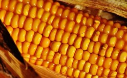 Вкусный и сладкий сорт кукурузы «Бондюэль»: идеальный для консервации и употребления в свежем виде