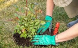 Выясняем, можно ли пересаживать розы в августе и учимся делать это правильно