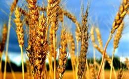 Каково влияние селитры на пшеницу и как её применяют для удобрения