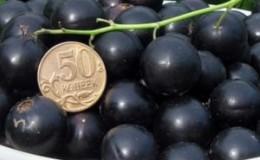За что садоводы любят сорт чёрной смородины Лентяй и почему его стоит выращивать