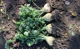 Как правильно выкапывать корневой сельдерей и когда это нужно делать