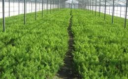 Подробное руководство по выращиванию укропа