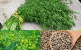 Как применять семена укропа при панкреатите и чем они полезны