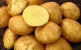 «Винета» — самый популярный и высокоурожайный сорт картофеля среди огородников-любителей