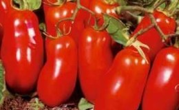 Урожайный и легкий в выращивании томат «Женское счастье» — фото плодов и секреты грамотного ухода