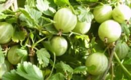 Крупноплодный сорт крыжовника Бесшипный Уральский, дающий богатый урожай вкуснейших ягод