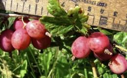 Среднеранний сорт крыжовника «Розовый 2»