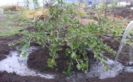 Полное руководство по поливу смородины для здоровых кустов и обильного урожая
