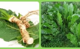 Способы применения листьев хрена и их польза для здоровья и красоты