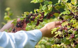 Правила ухода за крыжовником после сбора урожая в июле и августе