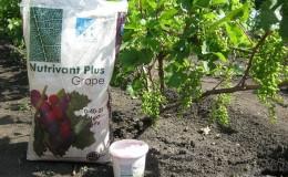 Лучшие подкормки винограда весной и правила их внесения