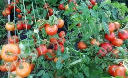 Плодовитый сорт с говорящим названием — томат «Видимо-невидимо»: ставим рекорды по урожайности