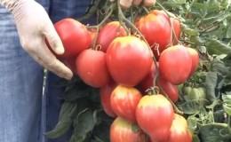 Новый, но уже успевший полюбиться фермерам сорт — томат «Сахарная Настасья»: отзывы и правила его выращивания