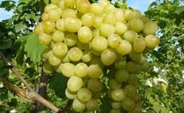 Классический универсальный сорт винограда «Восторг»