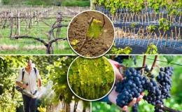 Руководство по уходу за виноградом весной после открытия
