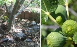 В каком объеме и как часто поливать инжир летом: инструкция для новичков