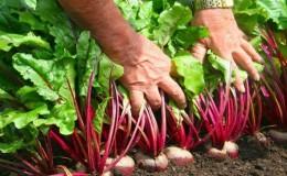 Правила получения богатого урожая свеклы: выращивание в открытом грунте и уход