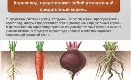 Разбираем строение корневой системы моркови — в чем ее особенности