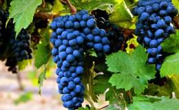 Раннеспелый темнокожий сорт винограда «Примитиво»