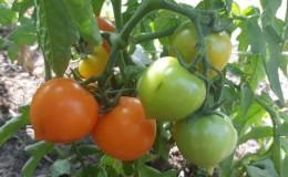 Яркий, необычайно сладкий и обожаемый детьми томат «Утенок» для выращивания в теплицах и на открытом грунте