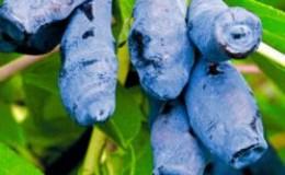 Крупноплодный выносливый сорт жимолости Бажовская