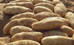 Что это за сорт картошки «Дрова» и существует ли он на самом деле?