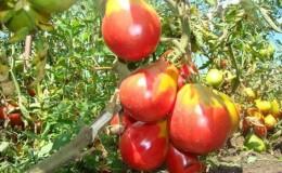 Грушевидный сорт со сладким вкусом и потрясающим ароматом — томат «Иван Купала»
