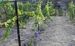 Разновидности и самостоятельное изготовление шпалер для винограда