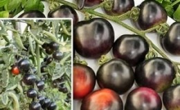 Удивите гостей и соседей необычными помидорами — томат «Черная гроздь F1»