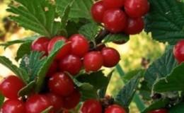 Пошаговое руководство по обрезке войлочной вишни летом для начинающих