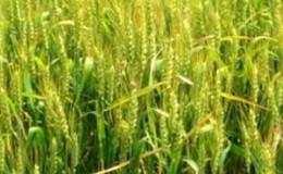 Озимая пшеница «Московская 40»: описание сорта