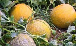 Популярная дыня «Колхозница»: калорийность, польза и вред для организма