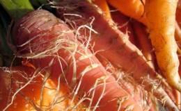 Причины, почему морковь мягкая в земле и что с этим делать