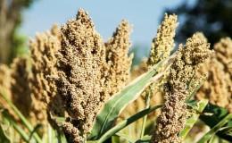 Гаолян — что это за растение и как его применяют