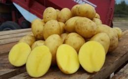 Высокоурожайный, среднеспелый сорт картофеля с мощной корневой системой «Янка»