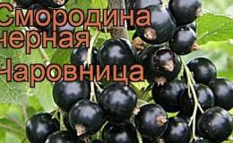 Чем хорош сорт смородины Чаровница и как правильно его выращивать